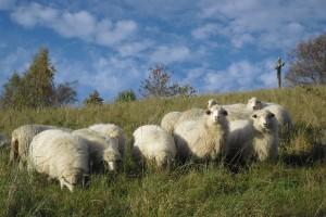 Na Velké Homolce jsme tradičně pásli šumavské ovce